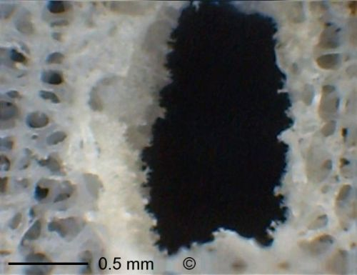 Pores. Locality. Teutonia, Misburg Width: 180 mm
